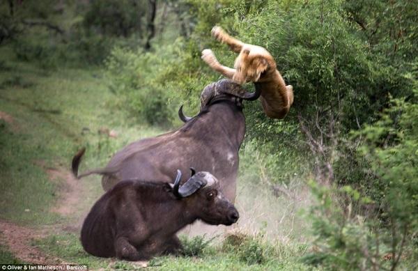 buffalo-lion