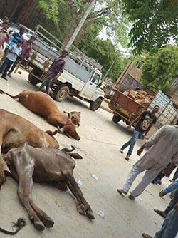 குஜராத்தில் தலித்துக்கள் அரசு அலுவலகங்களில் செத்த மாடுகளால் நிரப்பினர்