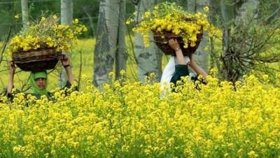 mustard-field-3